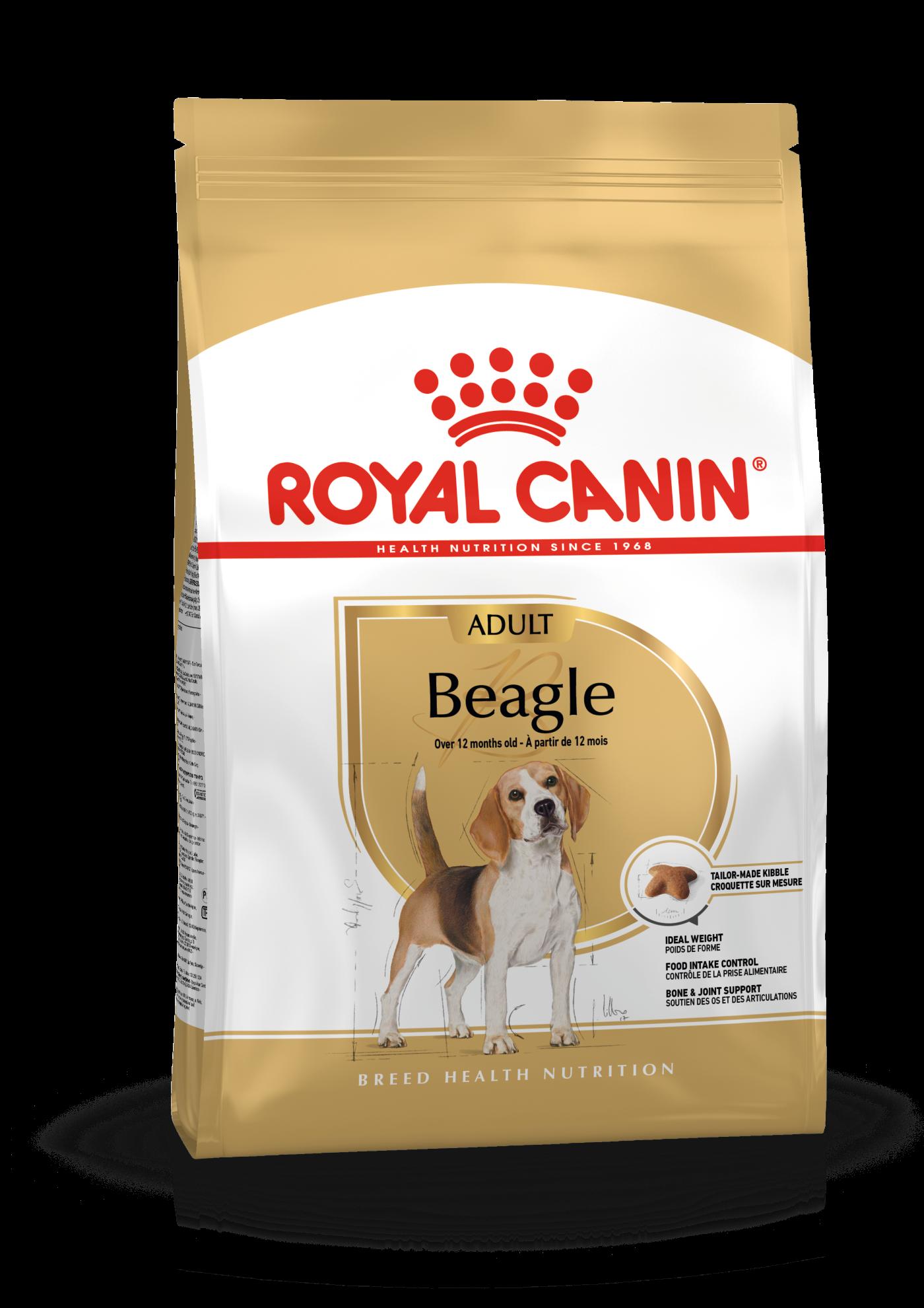 Beagle Adulte