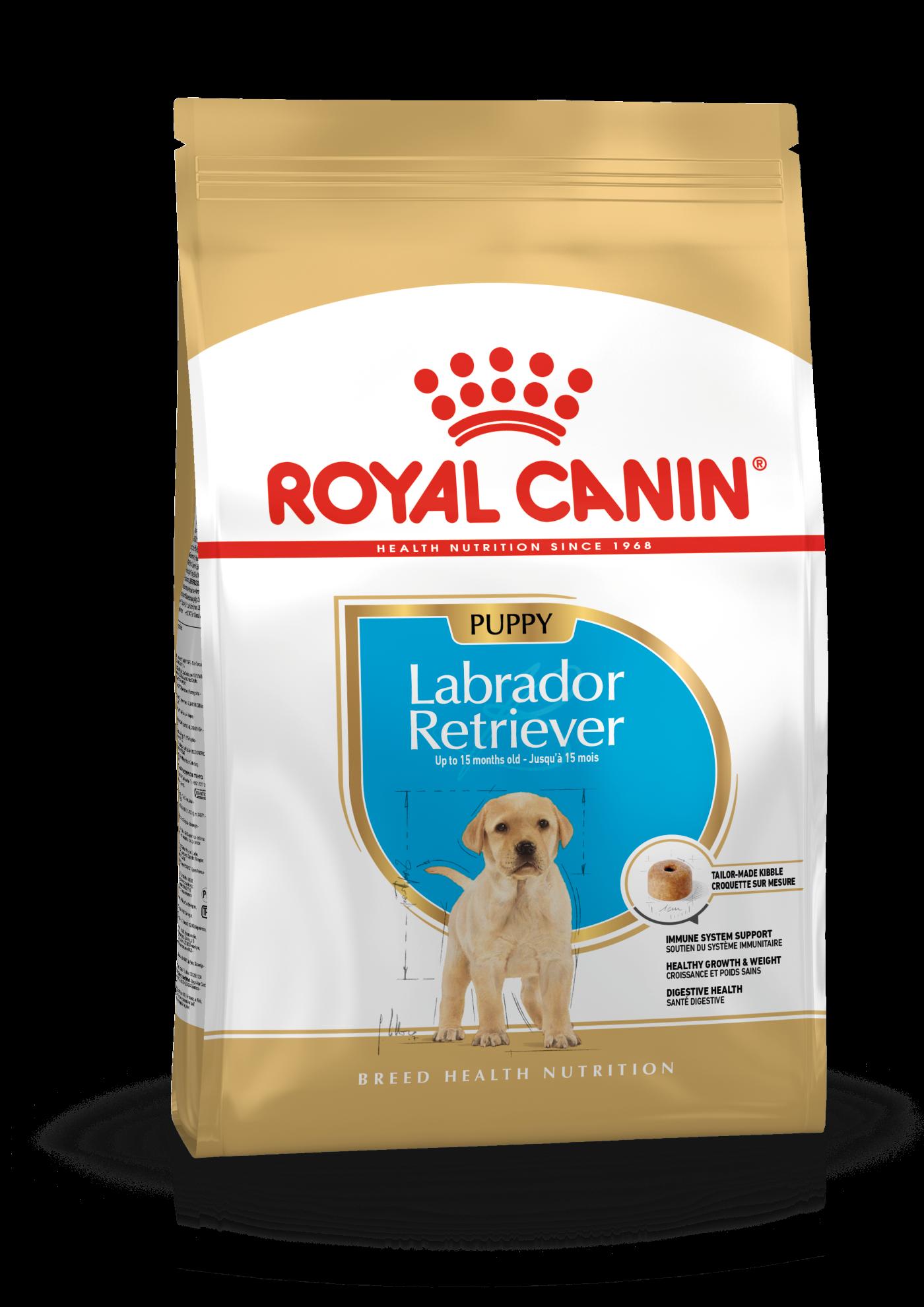 Chiot Labrador Retriever