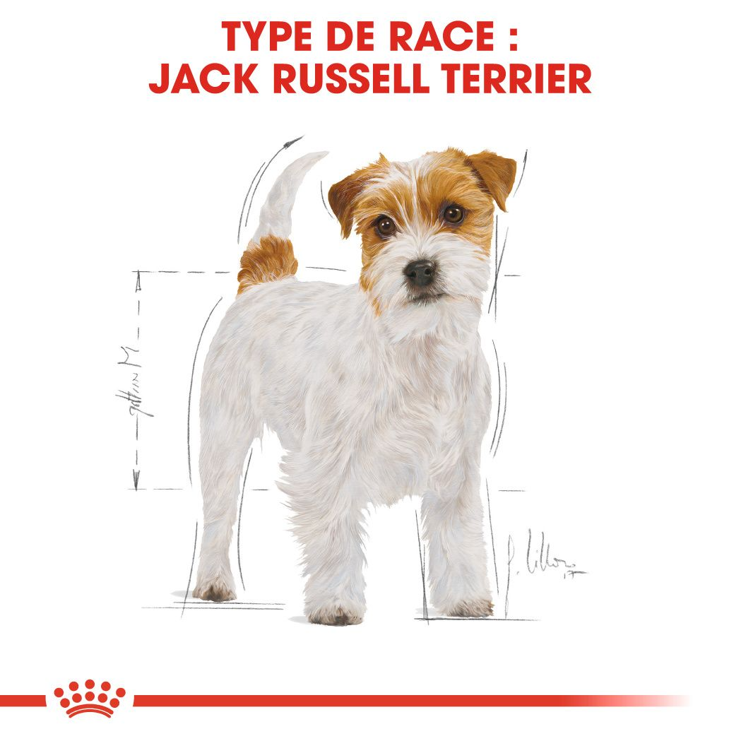 Jack Russell Adulte