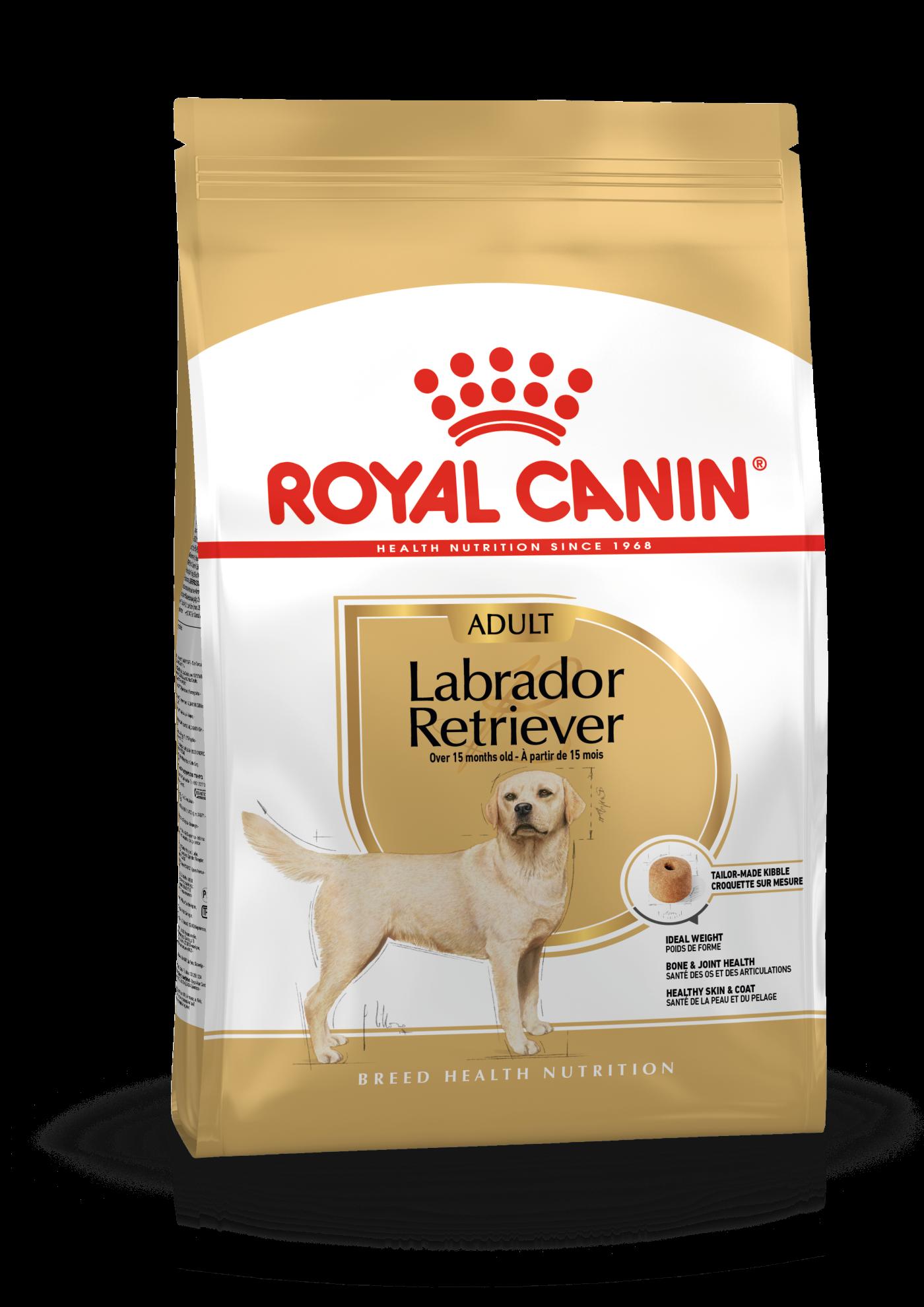 Labrador Retriever Adulte