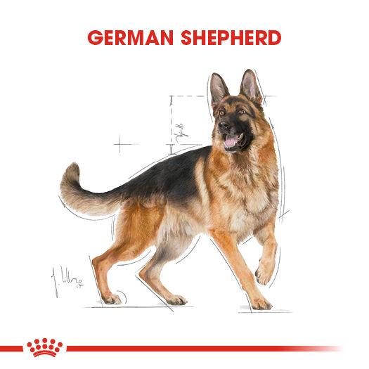 German Shepherd Adult