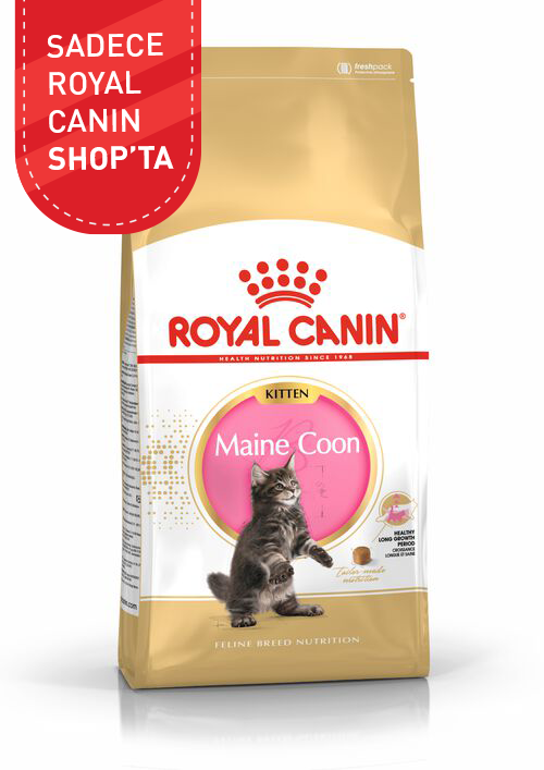 Maine Coon Kitten product image